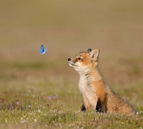 A Red Fox pup discovering its first butterfly!